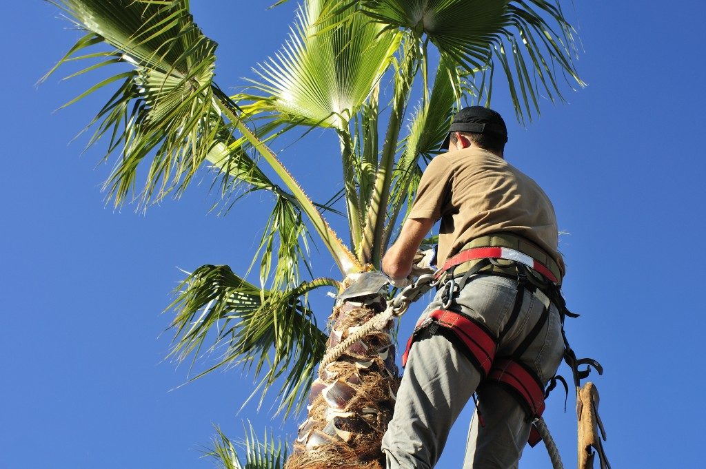 Worker cutting palm tree fronds