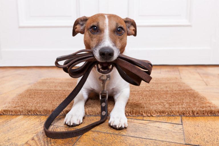 dog biting leash